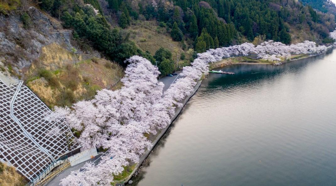 2020 海津 大崎 桜