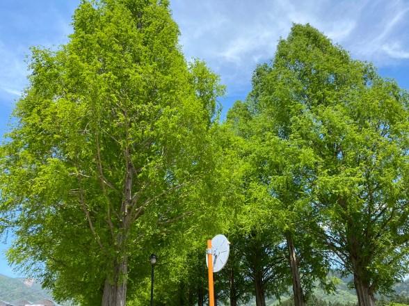 【滋賀の絶景】『マキノピックランド・メタセコイア並木』の観光ガイド(駐車場・トイレ)